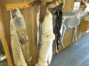 Wall hooks hold animal pelts.