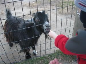 Peanut feeds a black goat through the fence.