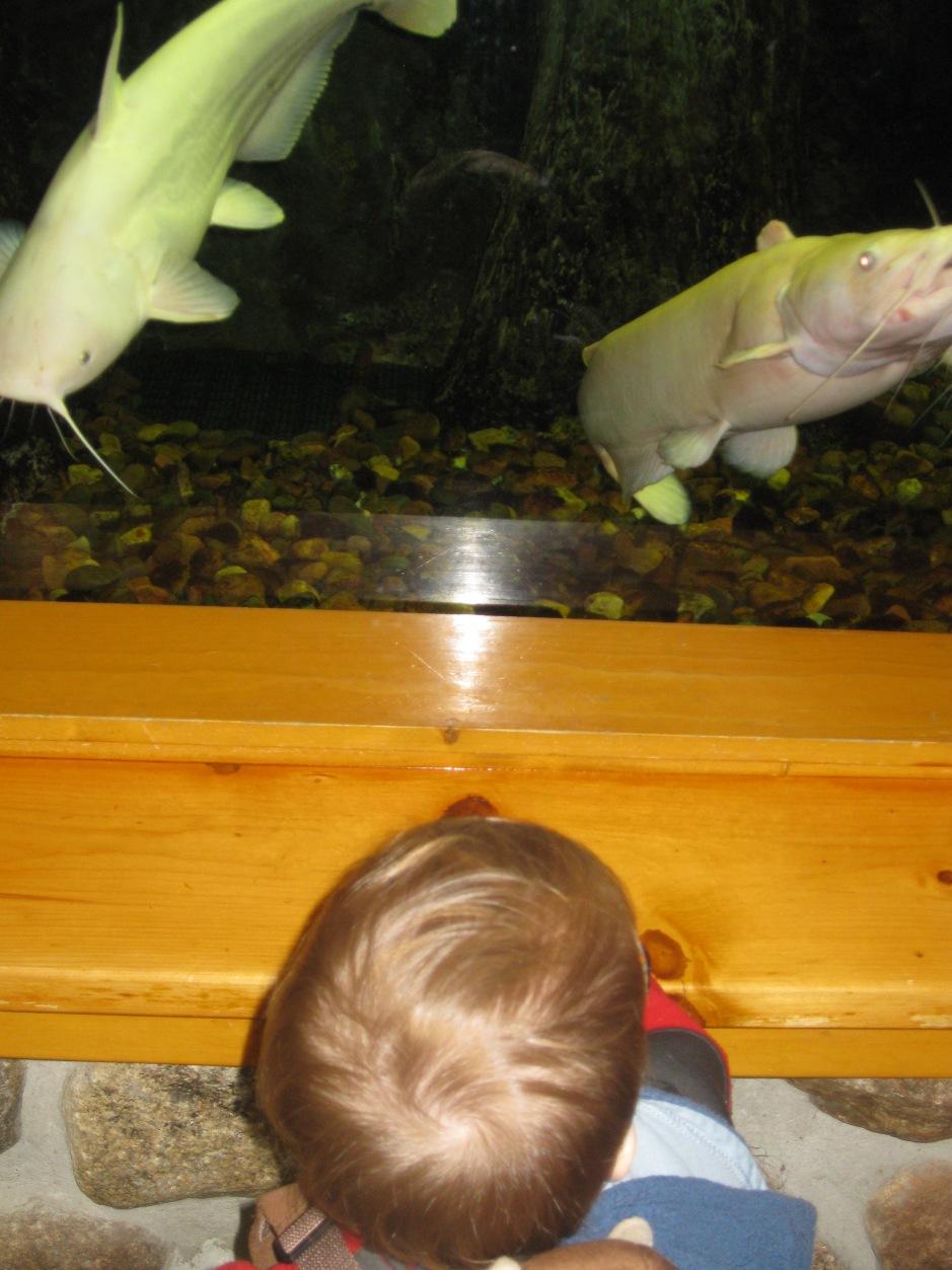 Peanut looks at two white catfish in the aquarium.