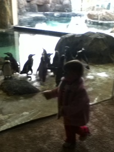 Sprout walks by the Humboldt penguins in their indoor-outdoor enclosure.